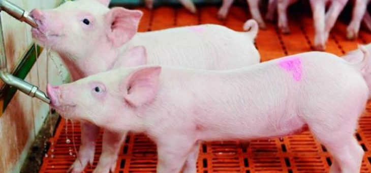 Embrapa proposes 50% reduction in water consumption in pig farming